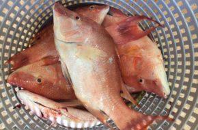 Hogfish Fillet